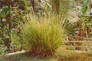 Vetiver Grass